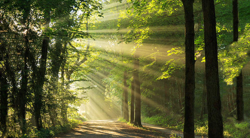 Sunlight filtering through forest trees