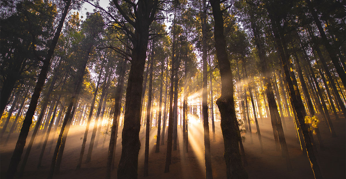 Sun beams shining through forest